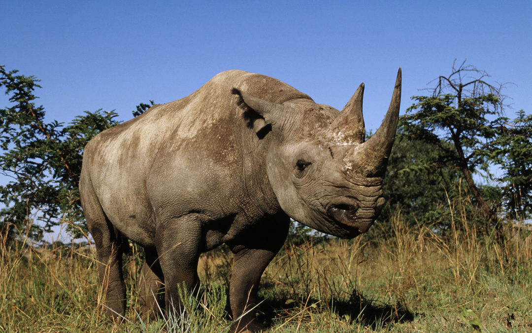 In A Rhino, Everything, By Charles Eisenstein